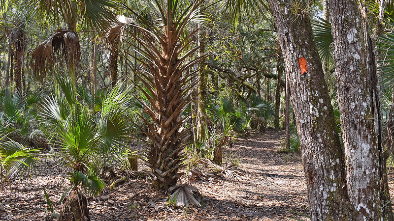 Cabbage palm and oaks along trail
