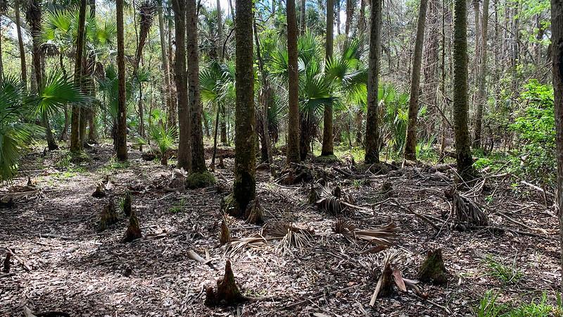 Cypress knees in forest floor