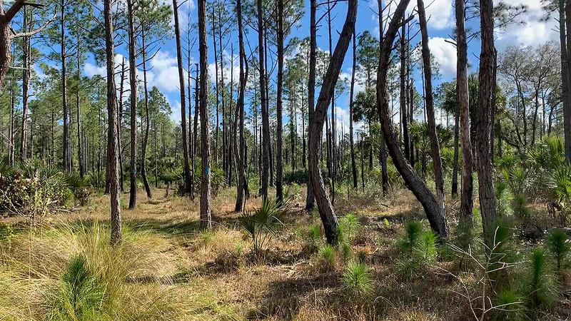 Wavy pine trunks and blue blaze