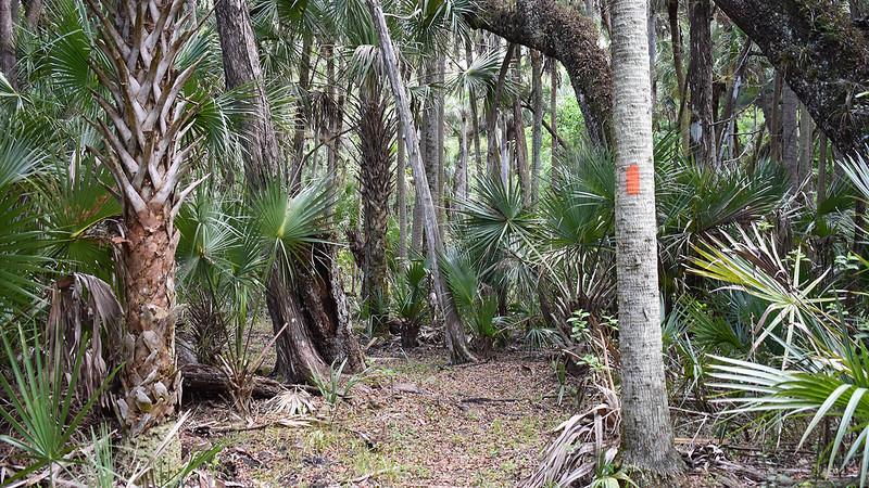 Orange blaze on palm trunk in hammock
