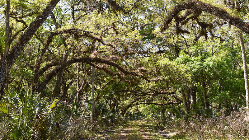 Forest road canopied by oaks