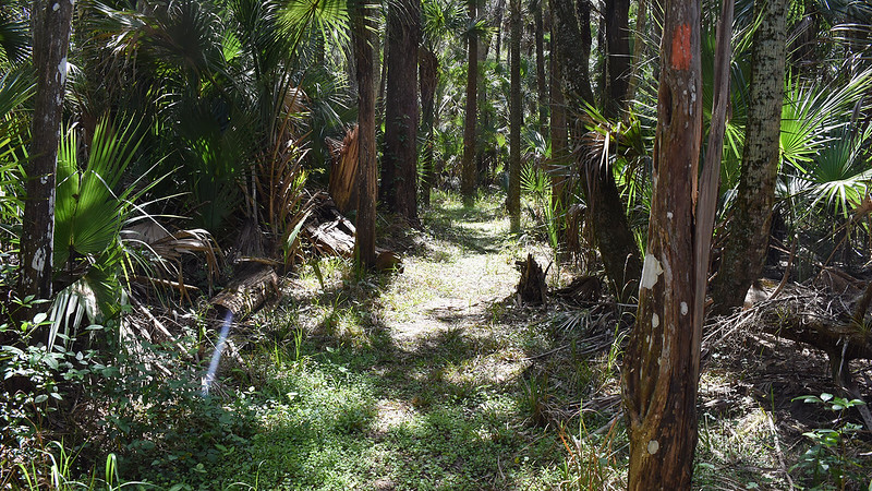 Cedars along the trail