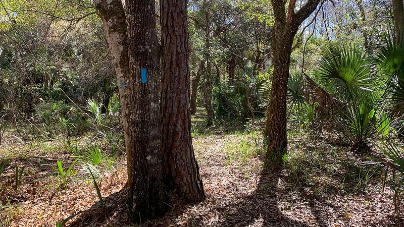 Blue blazed oaks in forest