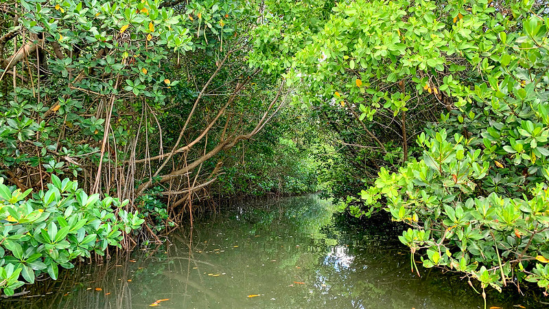 Tunnel under mangroves