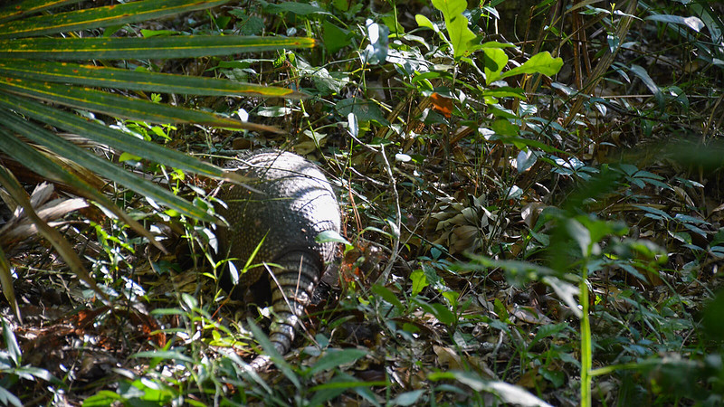 Armadillo in the underbrush