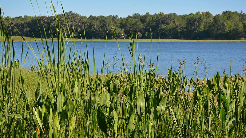 Marsh plants along lake