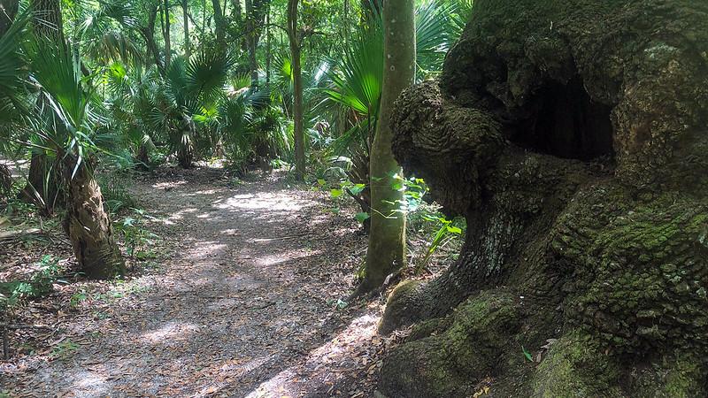 Large burl in side of immense live oak