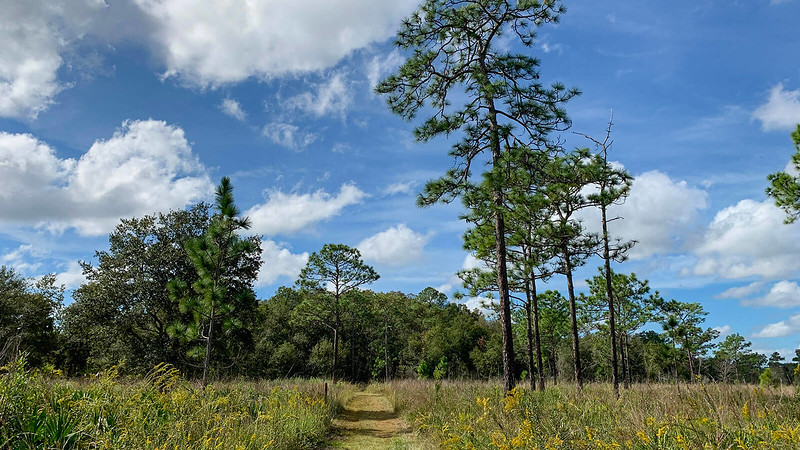 Mowed trail in prairie wildflowers flanked by pines