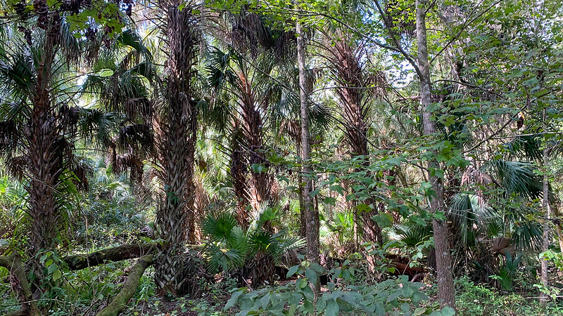 Stand of cabbage palms