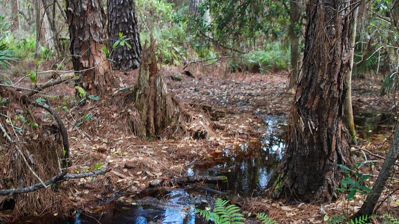 Tannic stream under pines