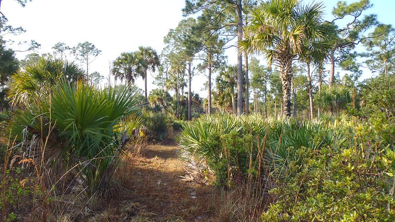 Trail corridor between saw palmetto
