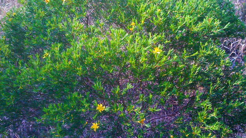 Close up of yellow flowers in green shrub