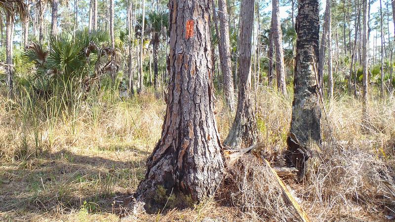Orange blaze on pine