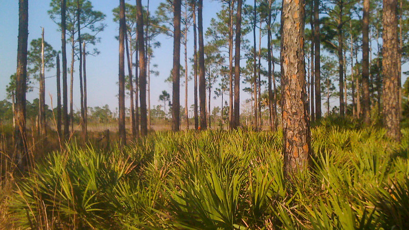 View from pines to savanna