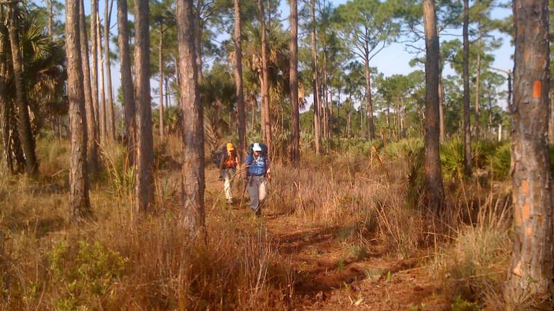 Backpackers between pines