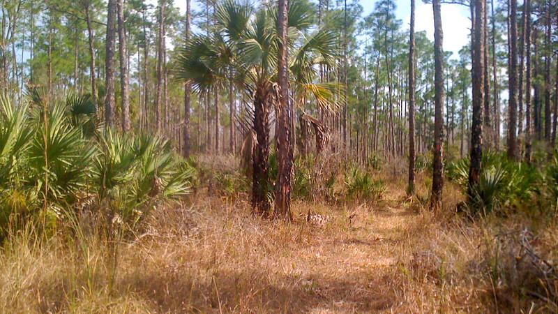 Saw palmetto and slash pines