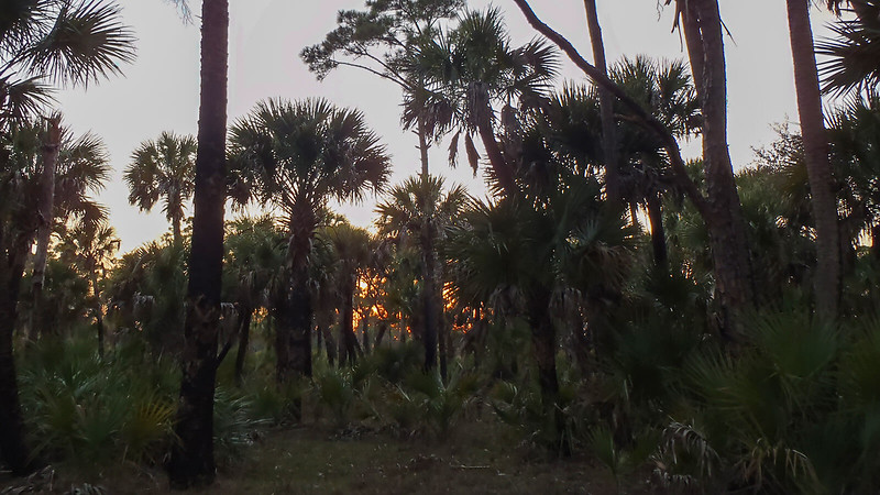Orange glow between cabbage palm silhouettes