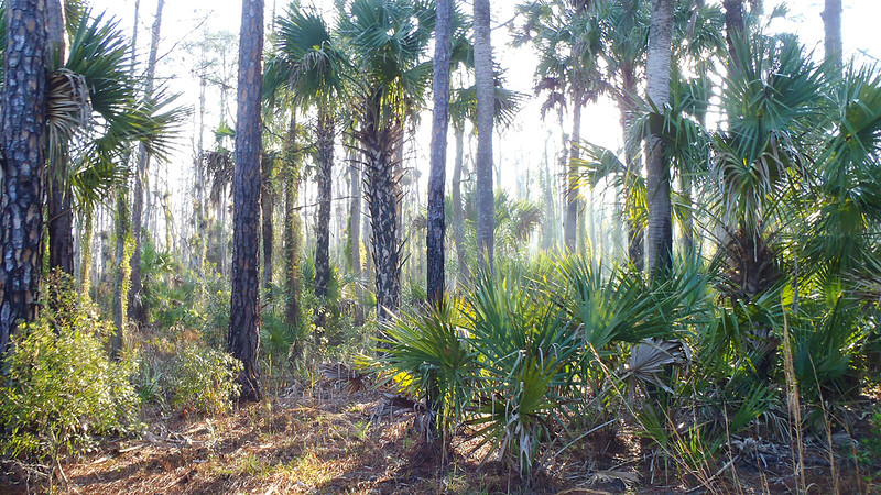 Cabbage palms and pines in bright light
