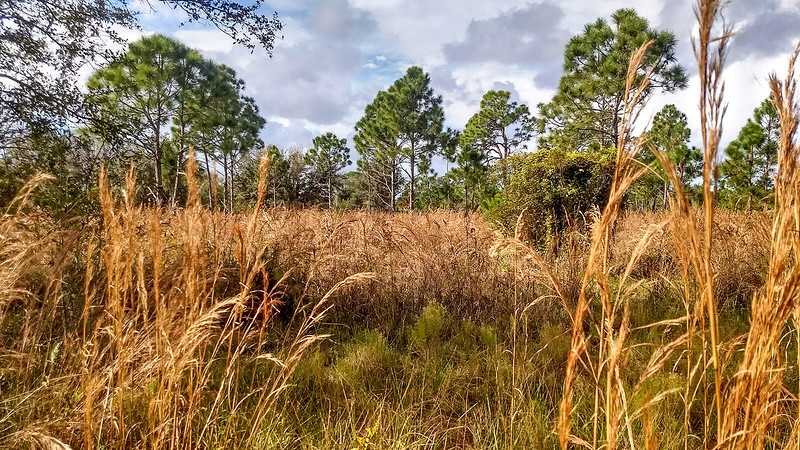 Tall wheat colored grasses between pines
