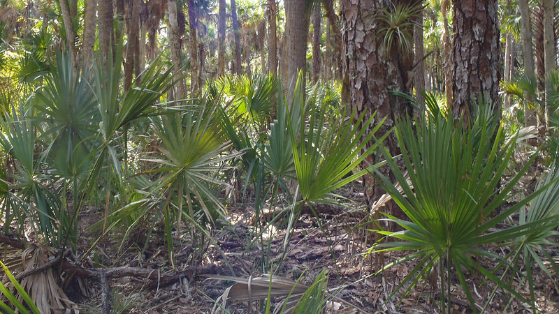 Saw palmetto at base of pines