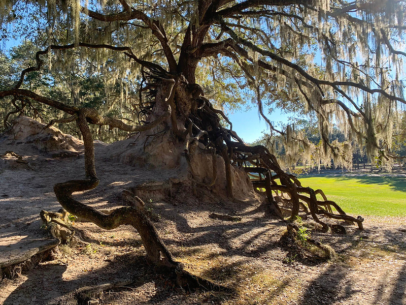 Live oak tipped sideways with roots exposed