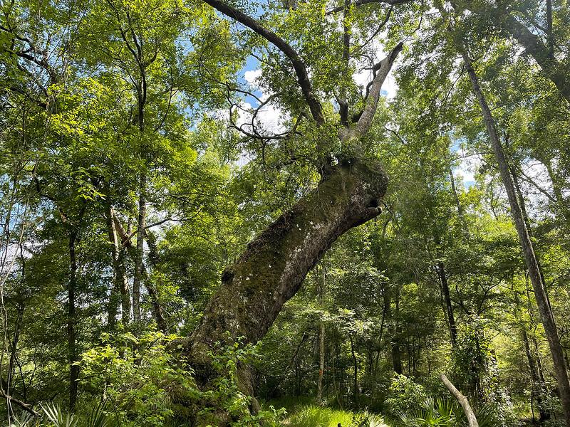 Enormous oak tree in forest