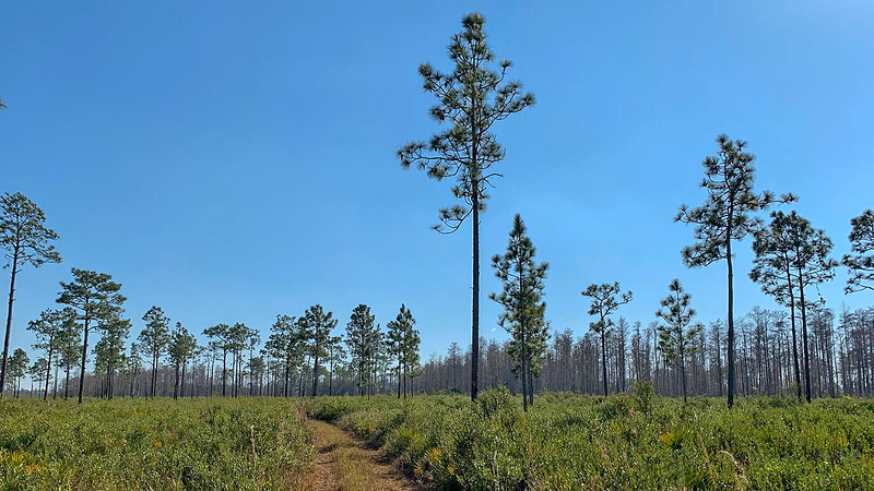 Pines foreground, cypress background