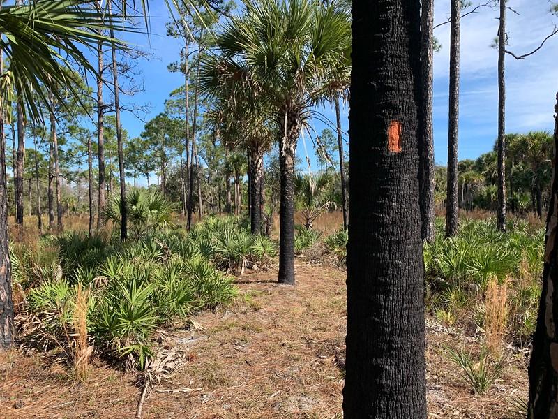blackened palm trunk with bright orange blaze