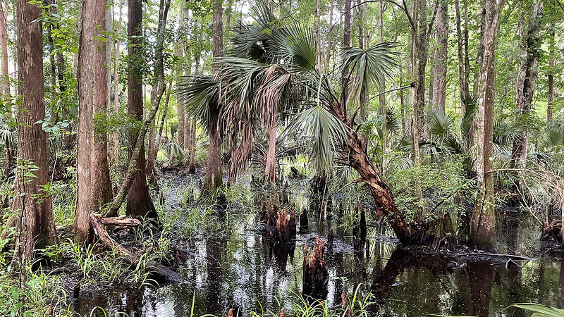 Blackwater swamp with palms and cypress