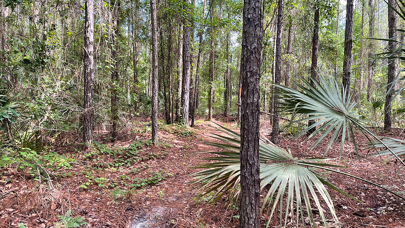 trail among pine trees