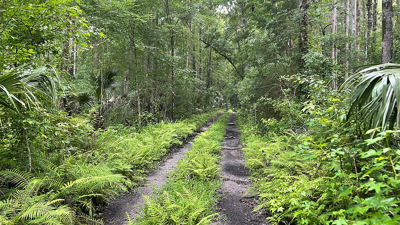 Fern-lined two track road in a hydric hammock