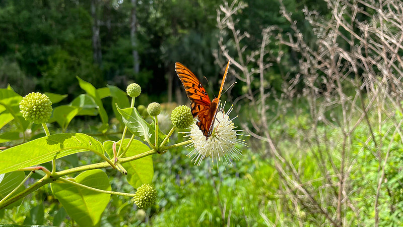 Buttonbush bloom and gulf fritillary butterfly