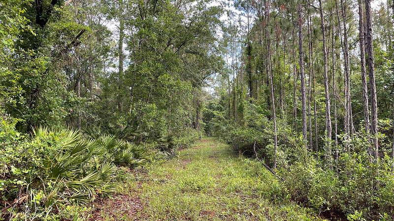 Grassy corridor lined with pines and palmetto