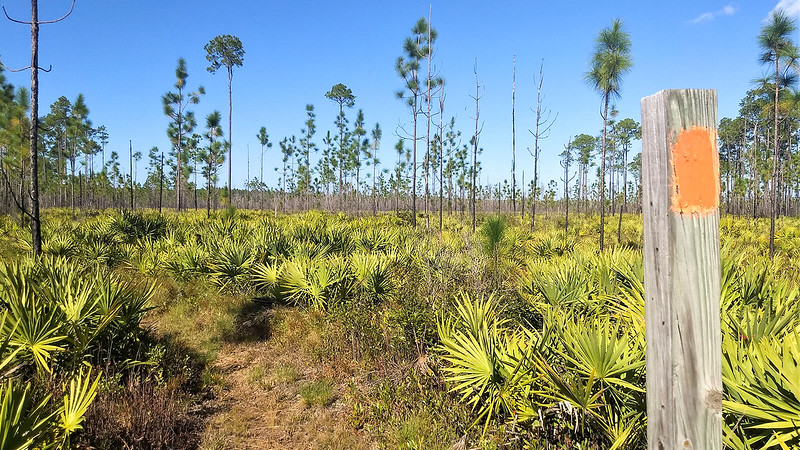Skinny young pines rising from saw palmetto