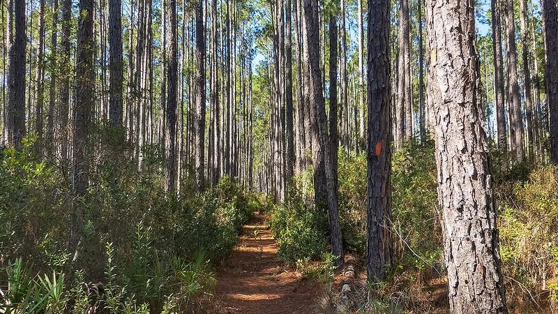 Straight path through pines