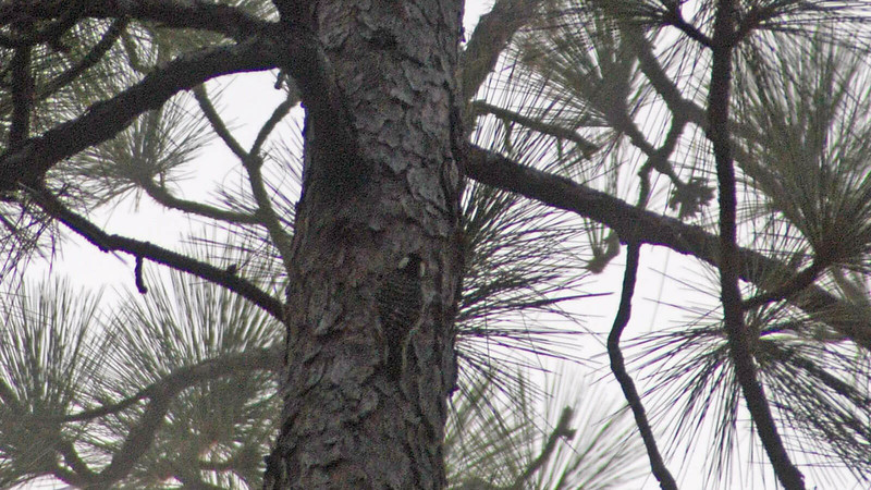 red cockaded woodpecker on a pine trunk