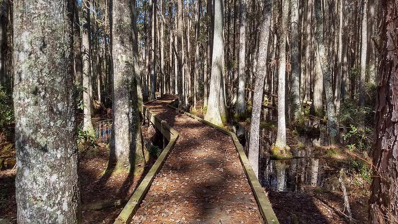 Boardwalk between dense collection of cypress trunks