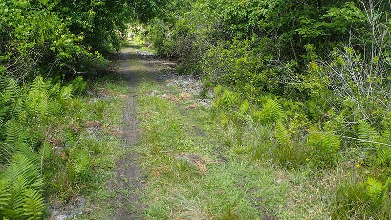 Worn path on causeway between ferns