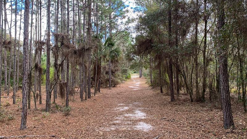 Path among slender pines