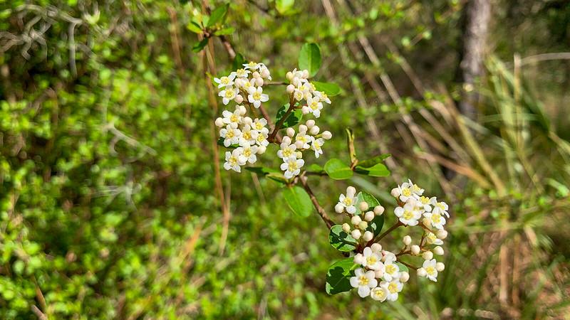Small white flowers in viburnum