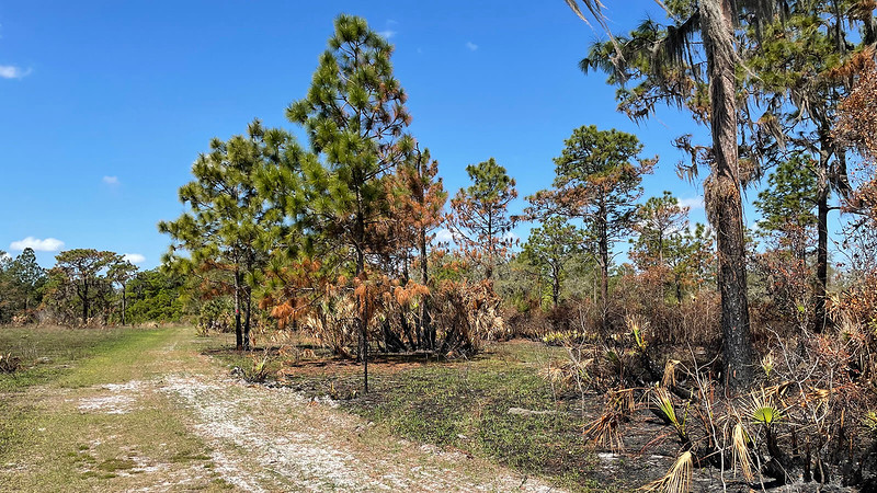 Pine with burn marks