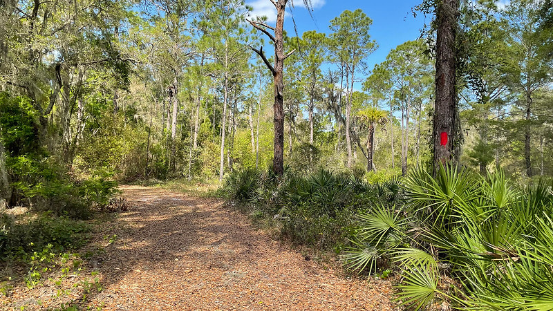 Path through pine woods