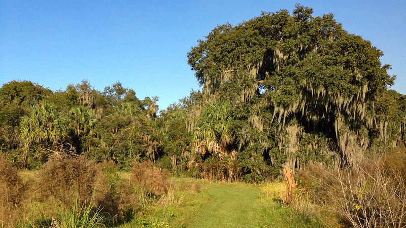Path to large live oaks