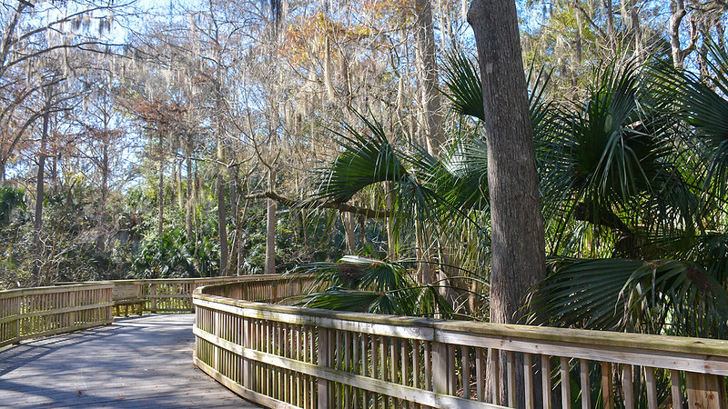 Curved boardwalk under cypress trees