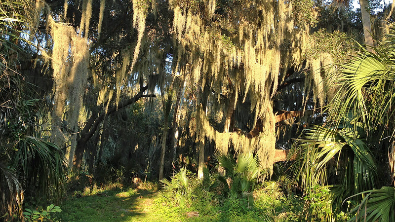 Sunlight on Spanish moss