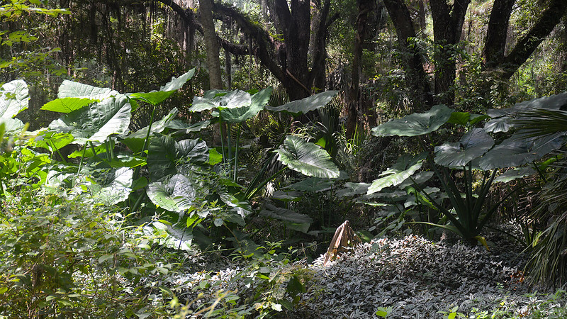 Giant elephant ear plants