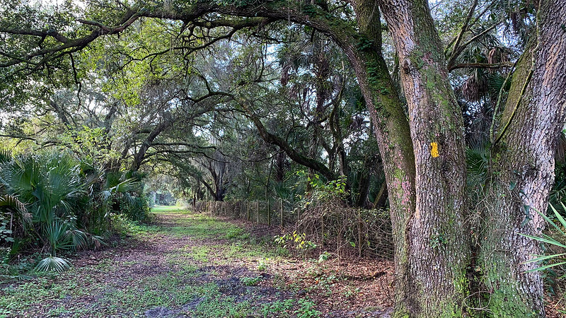 Line of live oaks along fence