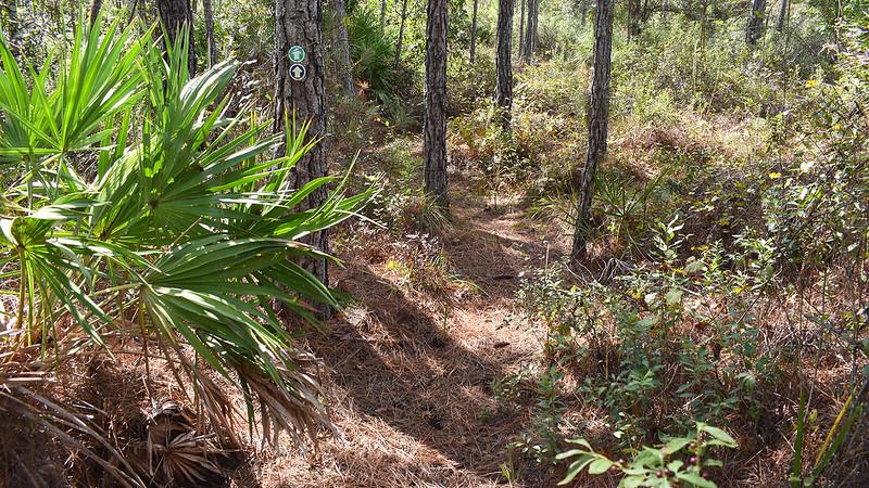 Undulating terrain under pines