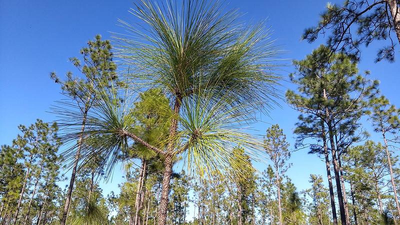 Young longleaf pine