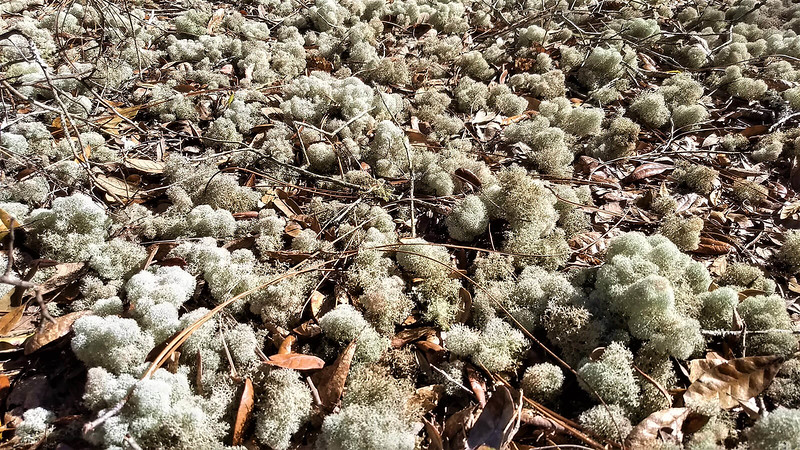 Puffy whitish moss on pine needles